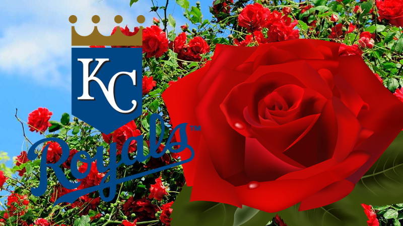 KC Royals Painted Rose Bush
